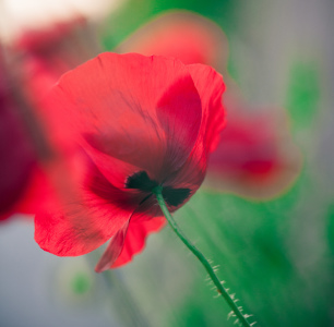 Picture no: 11468559 Mohn Created by: MaHai