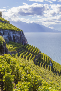 Picture no: 11480138 LAVAUX, GENFER SEE Created by: dieterich