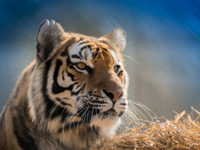 Picture no: 11484954 Panthera tigris altaica Created by: Richard-Young