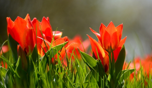 Picture no: 11486022 Tulpen-Wiese Created by: GUGIGEI