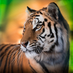 Picture no: 11486623 Panthera tigris altaica Created by: Richard-Young