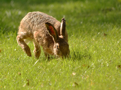 Picture no: 11491551 Der hoppelnde Hase Created by: Ostfriese