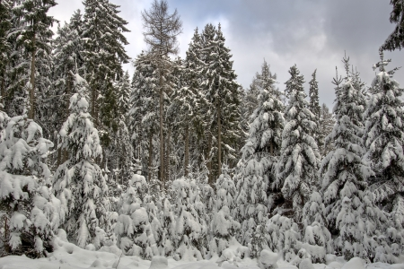 Picture no: 11495474 Winter im Nadelwald Created by: RonNi