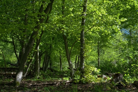 Picture no: 11495926 Frisches Grün im Aprilwald Created by: RonNi