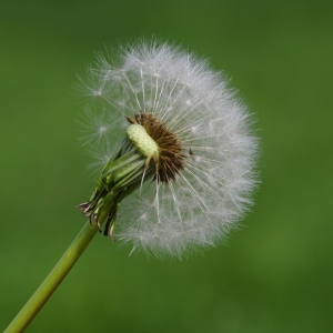 Picture no: 11496228 Pusteblume Created by: gabii40