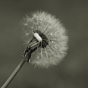 Picture no: 11496234 Pusteblume Created by: gabii40