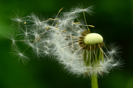 Picture no: 11501450 Pusteblume Created by: Ostfriese