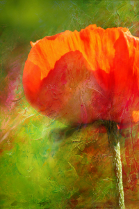 Picture no: 11511411 Mohn Created by: Heike Hultsch