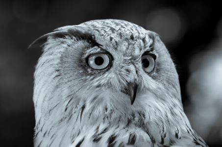 Picture no: 11511654 Uhu , Bubo bubo Created by: Richard-Young