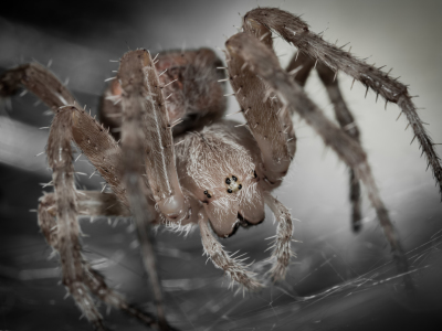Picture no: 11514872 Kreuzspinne , Araneus Created by: Richard-Young