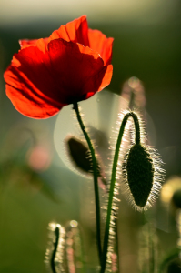 Picture no: 11517541 Gegenlichtmohn Created by: Ostfriese