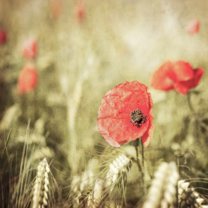 Picture no: 11519542 Mohn im Feld Created by: hannes cmarits