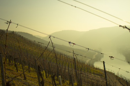 Picture no: 11527318 Weinberg an der Mosel Created by: MarRey