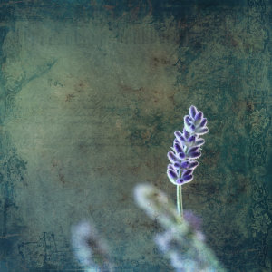 Picture no: 11529628 Lavendel  Created by: Heike Hultsch