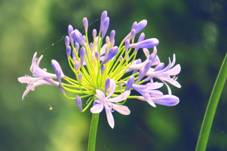 Picture no: 11547686 Agapanthus Created by: GUGIGEI
