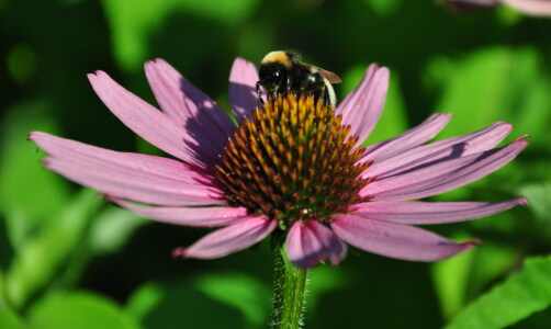 Picture no: 11550930 Echinacea Created by: Ikigai