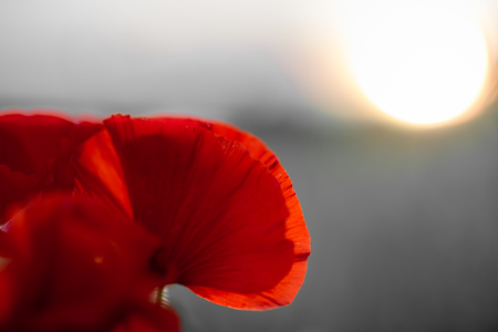 Picture no: 11552354 roter Mohn Created by: Richard-Young