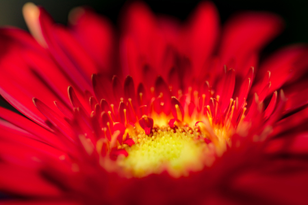 Picture no: 11553912 Gerbera Created by: Richard-Young
