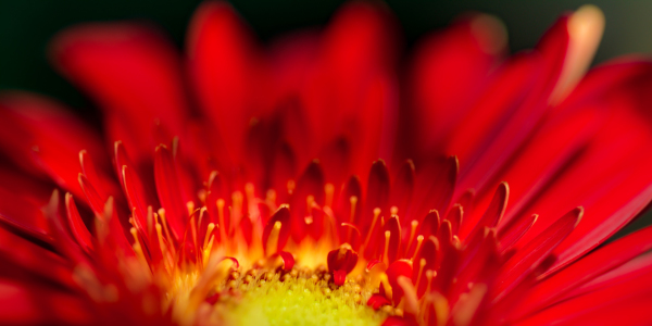 Picture no: 11555008 Gerbera Created by: Richard-Young