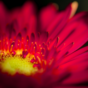 Picture no: 11559352 Gerbera Created by: Richard-Young