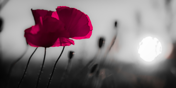 Picture no: 11561050 pink poppy Created by: Richard-Young