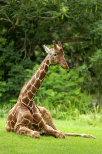 Picture no: 11562803 Giraffe Created by: Thomas Herzog