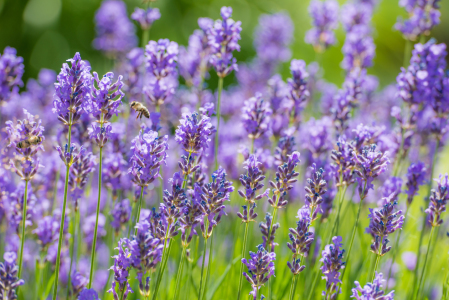Picture no: 11568576 Lavendel im Sommer Created by: hannes cmarits