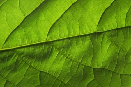 Picture no: 11579594 Avocado leaf Created by: RGBilder