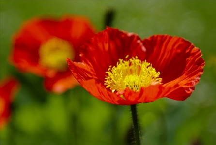 Picture no: 11581388 Mohn Created by: RGBilder