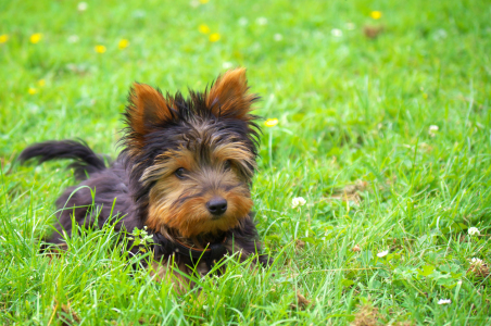 Picture no: 11584514 Yorkshire Terrier  Created by: Angela  Dölling