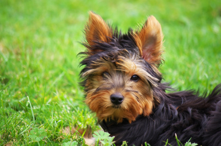 Picture no: 11584516 Yorkshire Terrier Created by: Angela  Dölling