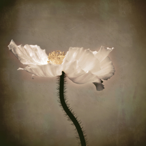 Picture no: 11585226 Mohn Created by: Josephine Mayer-Hartmann