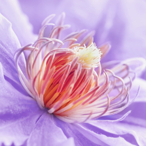 Picture no: 11589676 Clematis  Created by: Atteloi