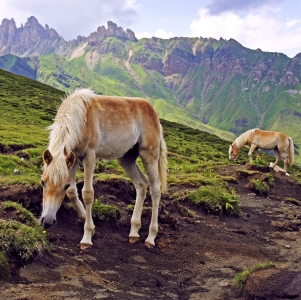 Picture no: 11595238 Haflinger Fohlen in Südtirol Created by: MartinaW