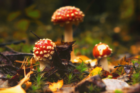 Picture no: 11598004 Die Drei im Wald, Amanita muscaria Created by: Tanja Riedel