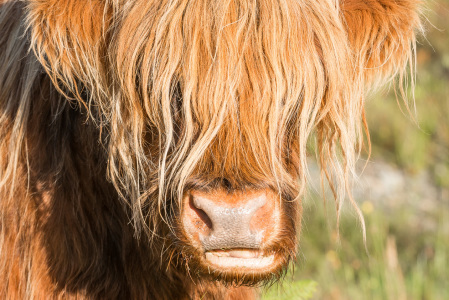 Picture no: 11598514 Highland Cattle, Skye, Schottland Created by: orxy