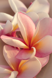 Picture no: 11598686 Leelawadee Plumeria 8575 Created by: praxisposter
