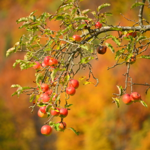 Picture no: 11605965 Herbst in der Streuobstwiese Created by: GUGIGEI