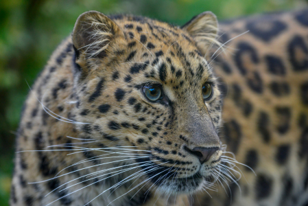 Picture no: 11611249 Amurleopard Created by: RoLeX