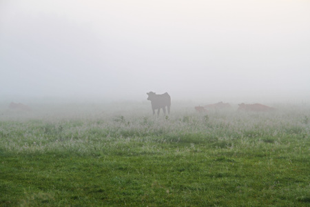 Picture no: 11658828 Kuhweide im Nebel Created by: falconer59