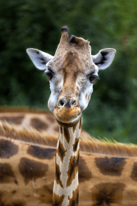 Picture no: 11663892 Giraffe Created by: Thomas Herzog