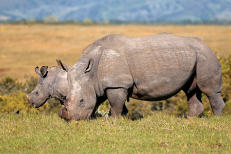 Picture no: 11669416 Rhinos Created by: Thomas Herzog