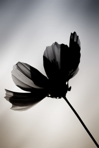 Picture no: 11681146 Schwarze Blume  Created by: ginton