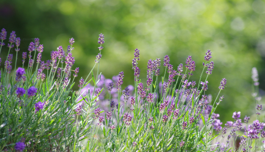 Picture no: 11710736 Lavendel im Sommer Garten Created by: Tanja Riedel