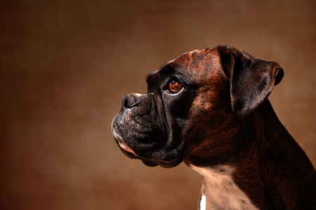 Picture no: 11726802 Deutscher Boxer Created by: Jana Behr