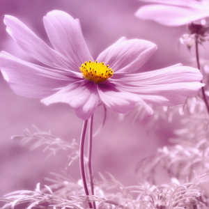 Picture no: 11737636 Cosmea Pink Created by: Atteloi