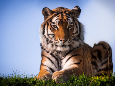 Picture no: 11740740 Sibirischer Tiger Created by: Richard-Young