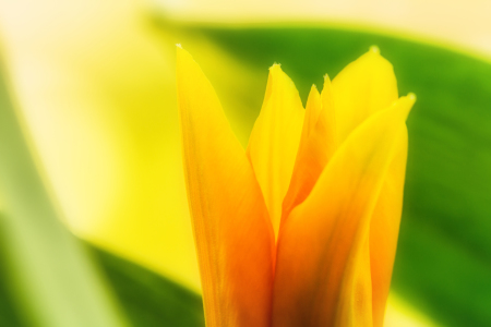 Picture no: 11746410 Yellow Tulip Created by: PassionPhotography