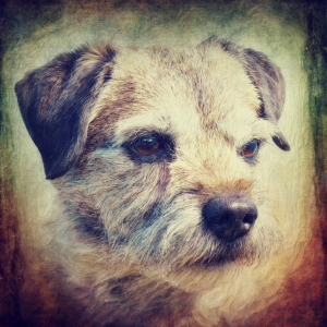 Picture no: 11751282 Border Terrier Created by: Angela  Dölling