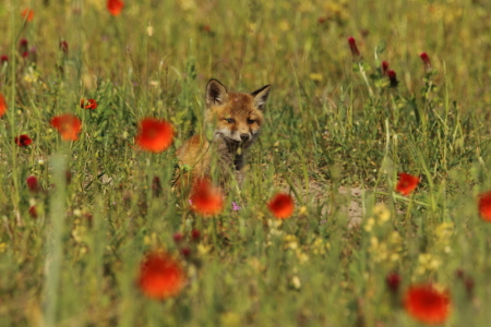 Picture no: 11756746 Füchslein im Mohn Created by: Uwe Fuchs